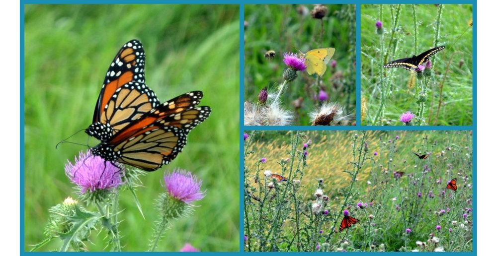 butterflies 1280x660.jpg