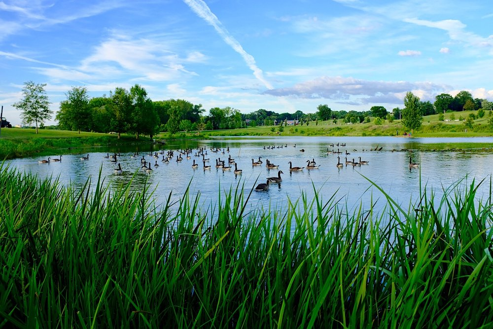More recent work; Geese at Liberty Park.
