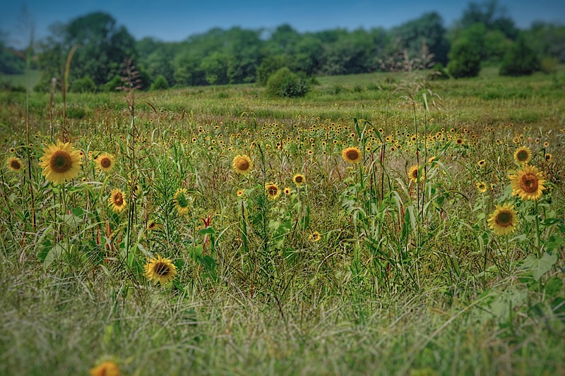 Sunflowers in the South at the End of Summer. Click to enlarge.