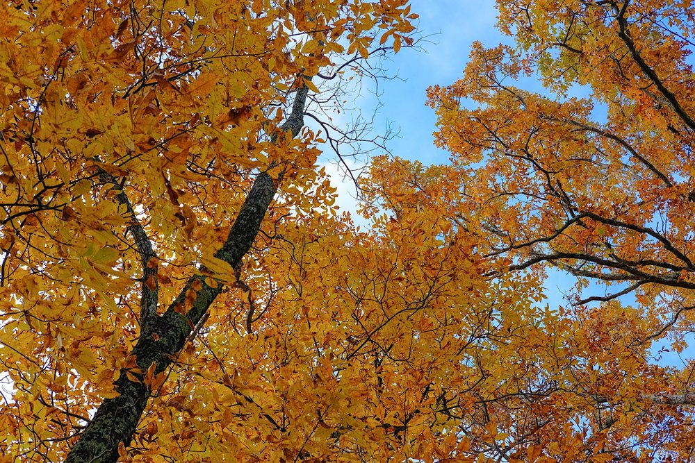 Golden Canopy.  (click to enlarge)