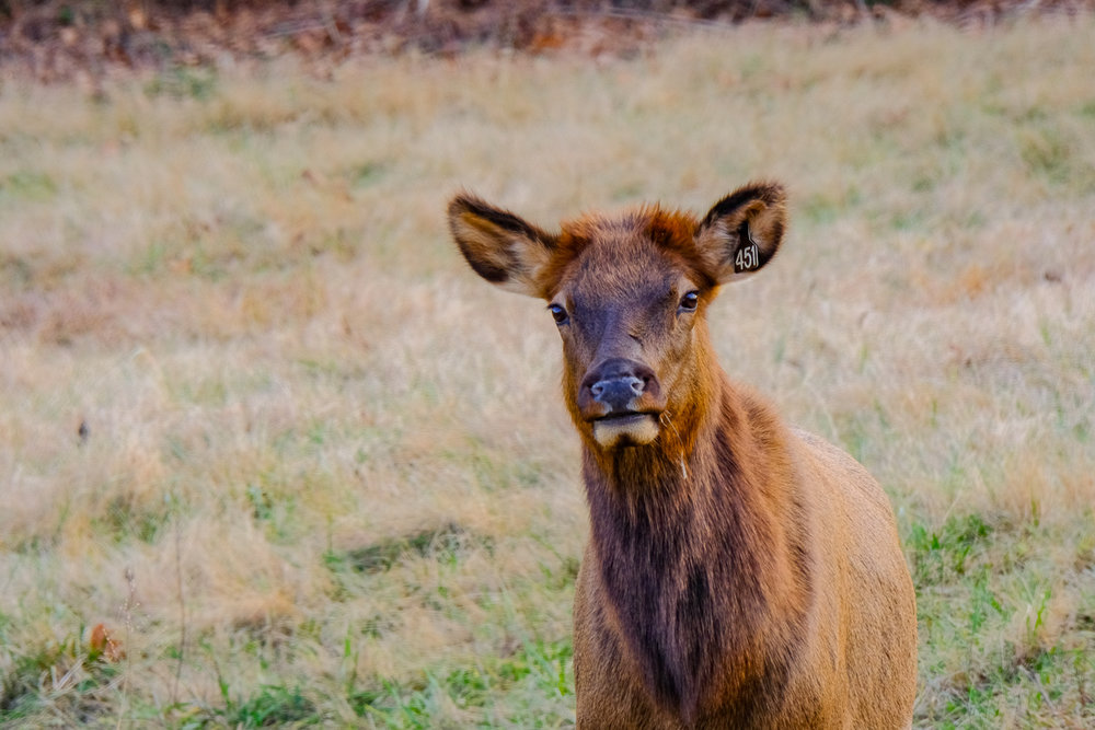 A lovely cow Elk posing for the camera.