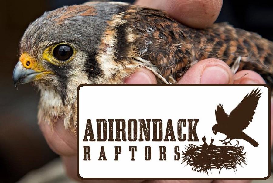 adirondack raptors 1.jpg