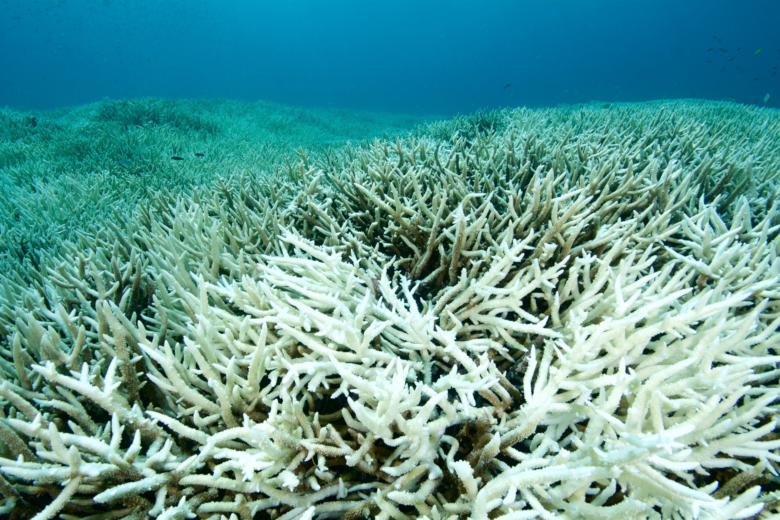 heat waves leading to corals bleaching