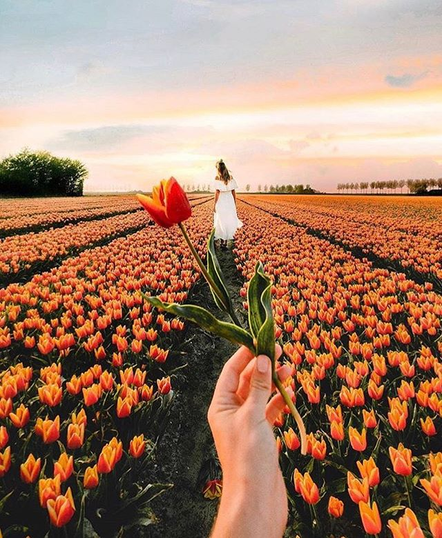 From mid March to the end of May, the tulips transform big parts of Holland into a colorful patchwork quilt. If you are traveling to Holland do see the tulips in April, you will discover fields filled with gorgeous color everywhere. - Travel better with Trotter. Download the app via the link in our bio - Photo credit: @saltinourhair - - - #wanderlust #adventureseeker #doyoutravel #travelmore #goexplore #wonderfulplaces #openmyworld #lovetotravel #roamtheplanet #travelbloggers #bloggerlife #digitalnomads #getoutstayout #trotterapp #solotravel #travelcouple #traveltips #travel #vacation #foreversummer