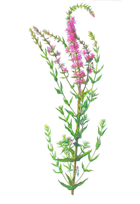 "Purple Loosestrife  Watercolor & gouache on paper 30""x40"""