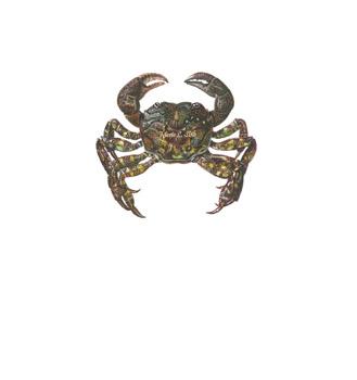 Japanese Shore Crab  Watecolor
