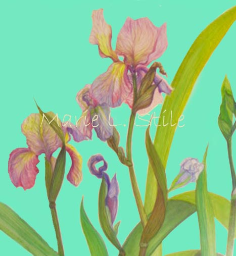 Iris Composition   Watercolor on paper