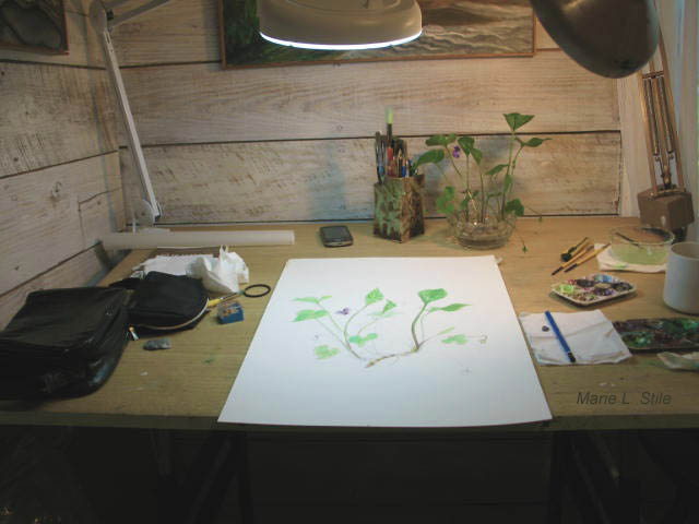 At the drafting table - I fell in love with botanical illustration while residing in an old gardener's cottage in the USVA.  Years later, I took a two year Natural Science Illustration Certificate program at the Rhode Island School of Design.