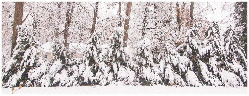 Snowy Backyard - Snow Covered Trees