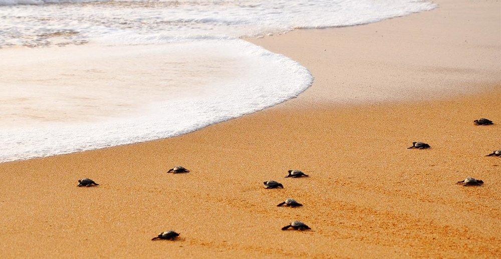 Baby Turtle Sri Lanka Coastal.jpg