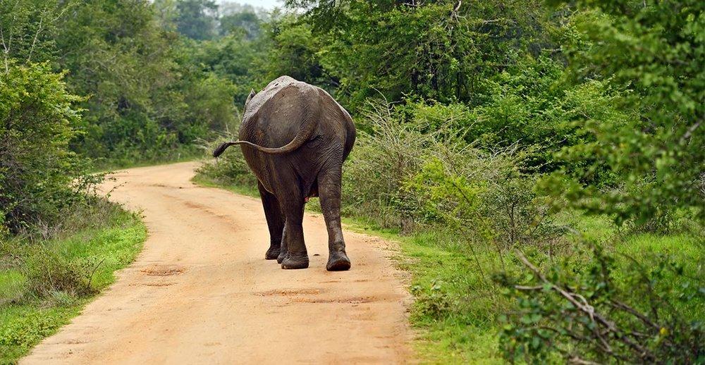 Elephants Yala Coastal.jpg