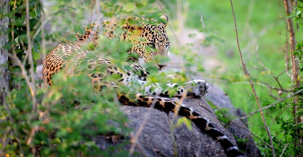 Leopard Coastal.jpg
