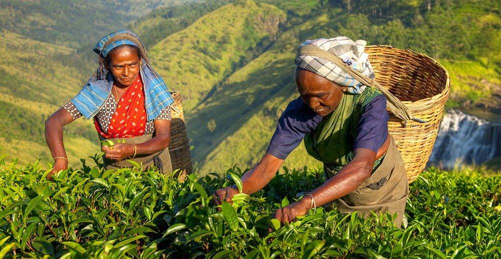 Tea Plantation Sri Lanka 02 Overland.jpg
