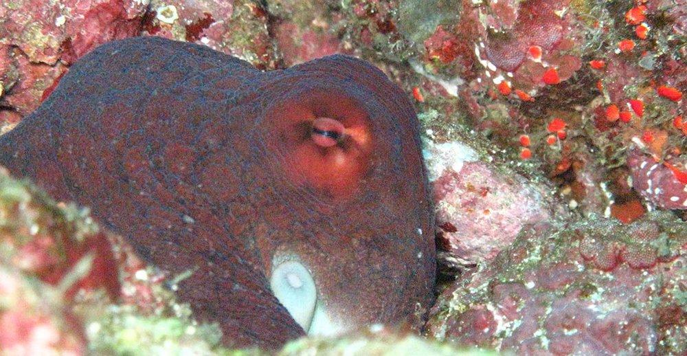 Octopus Weh.jpg