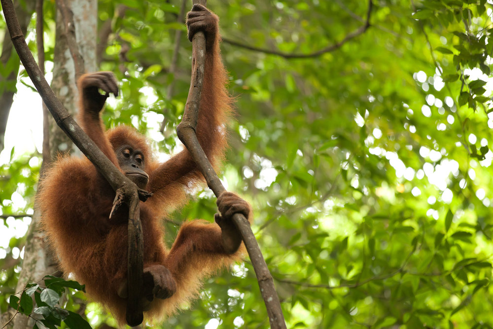 Bukit Lawang - Starting at SG$310Trek the end of the Gunung Leuser National Park and meet some orangutans and tube back down river to the village