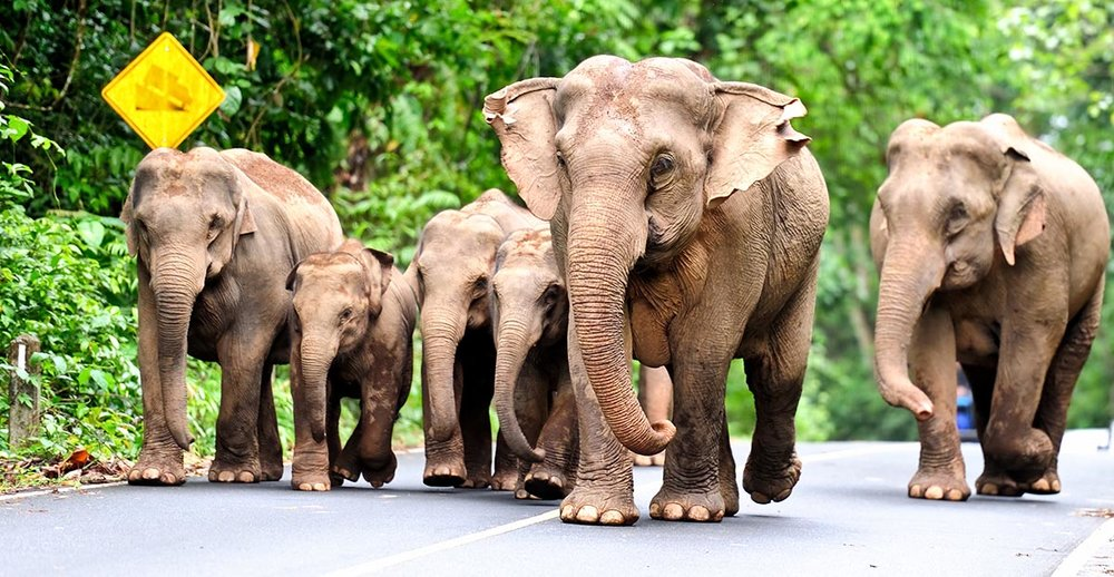 Elephants Khao Yai.jpg