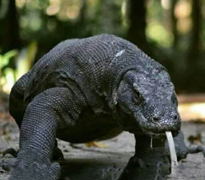 Komodo Dragon.jpeg