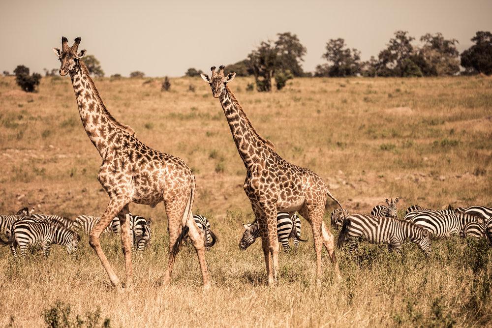 GIRAFFE, ZEBRA & ANTELOPE - On the trail, we regularly walk upon zebra, warthog,giraffe and near two dozen antelope species.