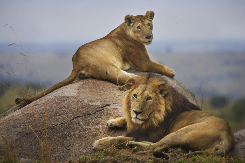LION & LEOPARD - This is ideal predator habitat – a perfect storm of prey supply, water and rocky outcrops in which to hide and raise cubs. Serengeti lion and leopard densities are of the highest in Africa.