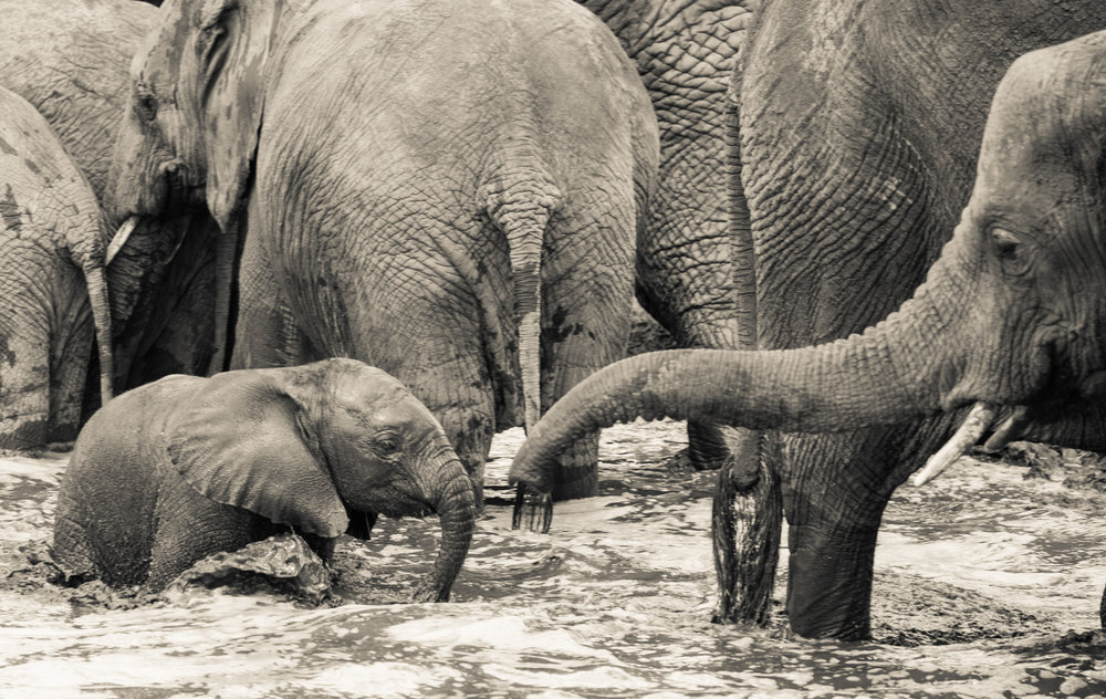 ELEPHANT - Many an hour is spent observing elephant families or big old tuskers browsing the woodlands or coming to the rivers to drink.