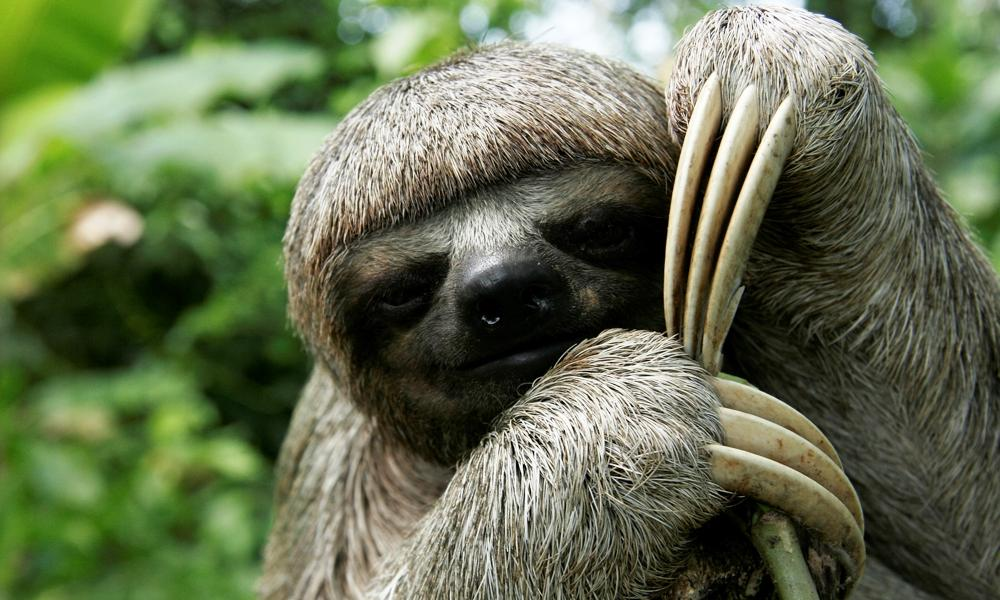 sloth_(c)_Jorge_Salas_International_Expeditions.jpeg