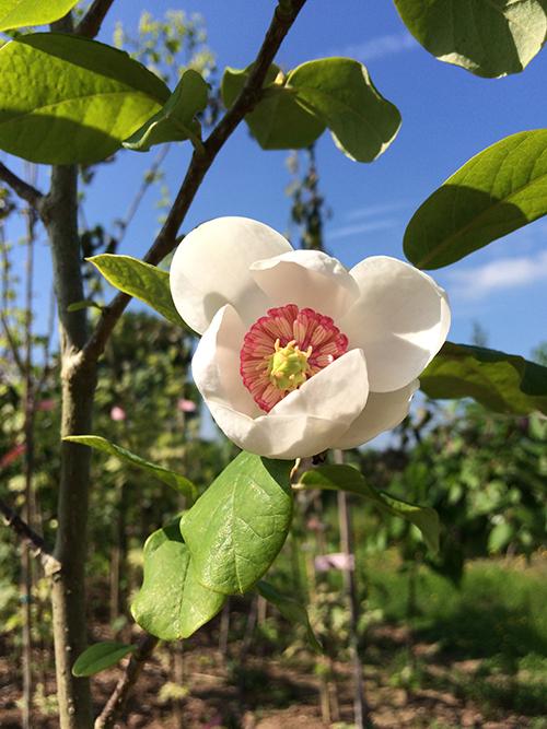Magnolia Sieboldii Mount Pleasant Trees