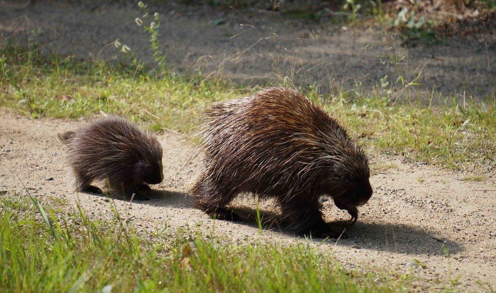 Porcupine -