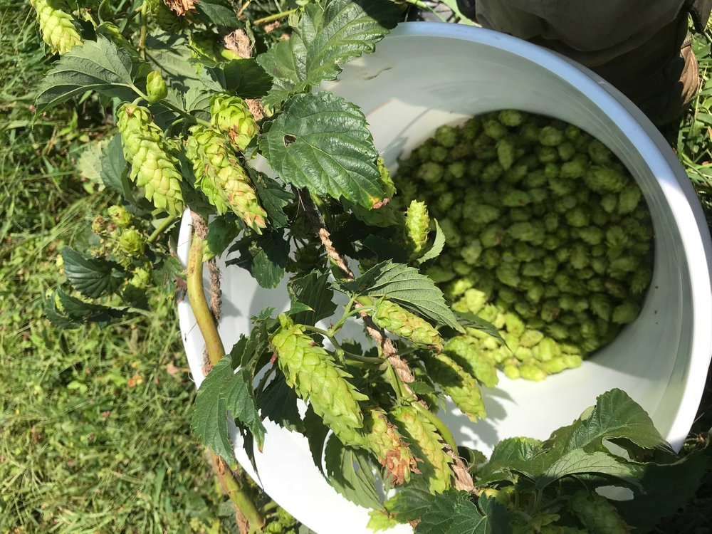 Our Columbia hops, 2018