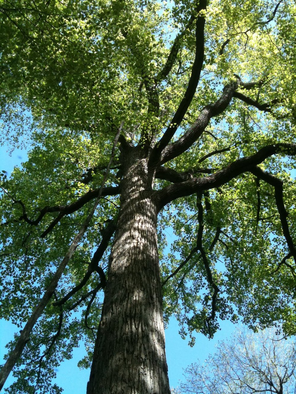 5-13-11 004 Oak at Eno Marsh.jpg
