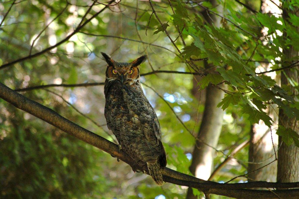 Owl closeup Hilla Von Rebay Arboretum, Westport.JPG