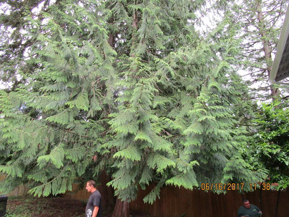 SUYU WANG BELLEVUE 6-16-17 TREE (4).JPG