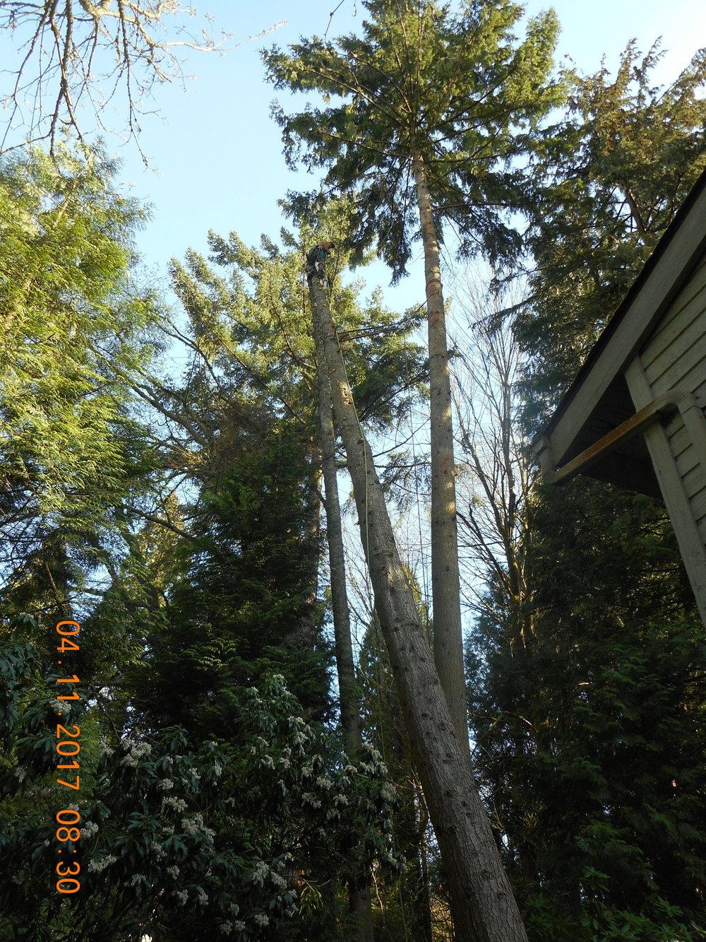 Trevor Laib 04-11-17 TREE (13).JPG