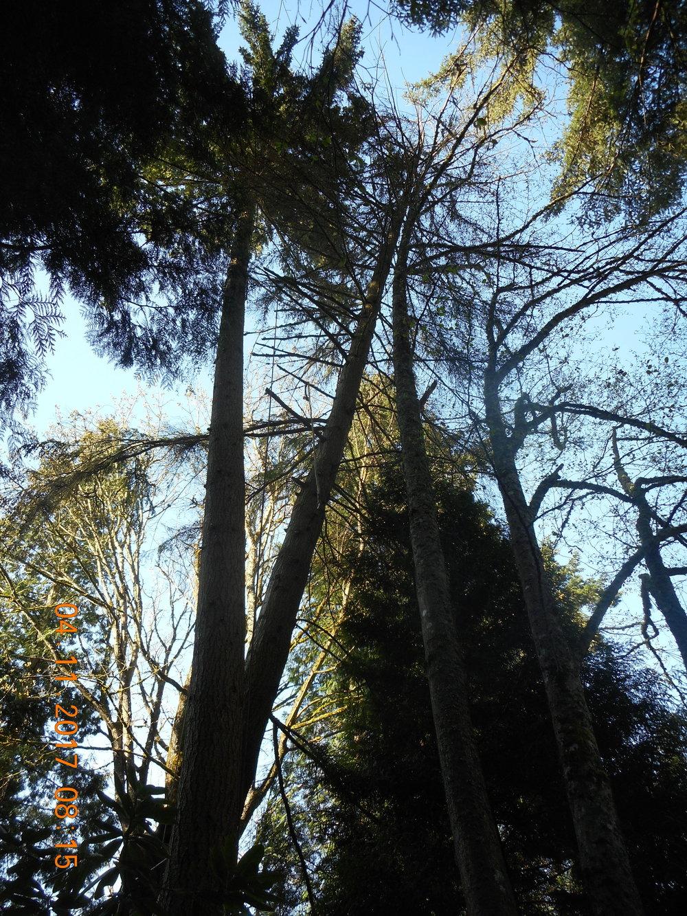 Trevor Laib 04-11-17 TREE (12).JPG