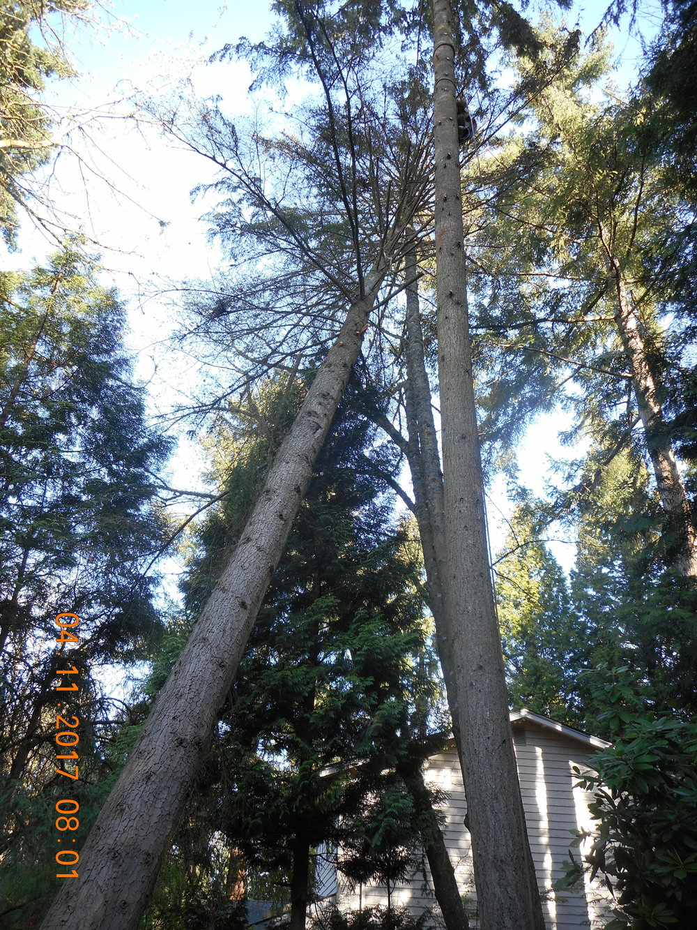 Trevor Laib 04-11-17 TREE (3).JPG