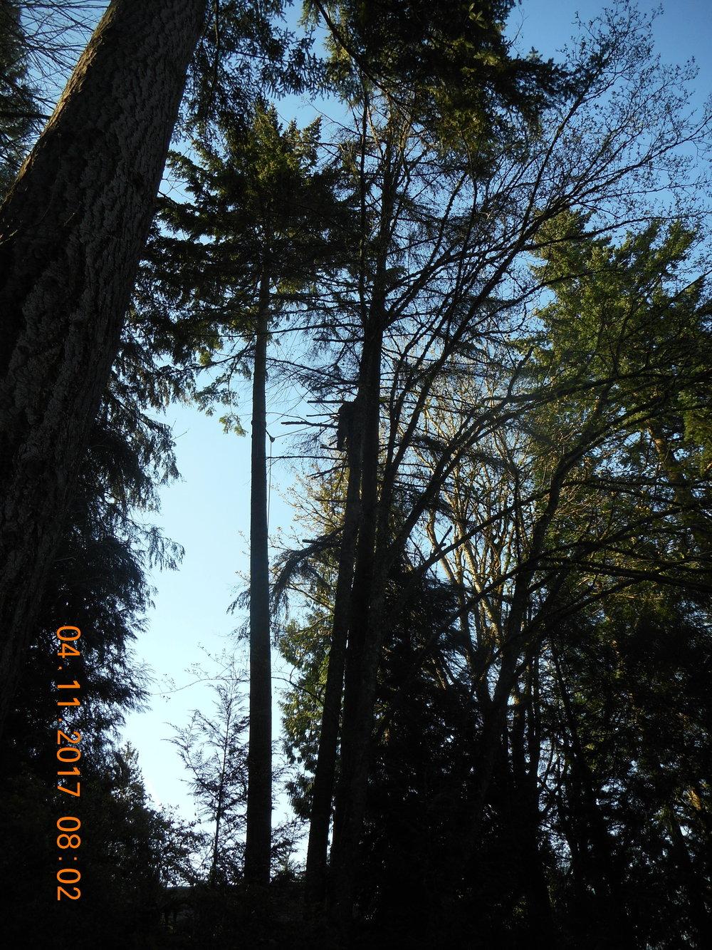 Trevor Laib 04-11-17 TREE (5).JPG