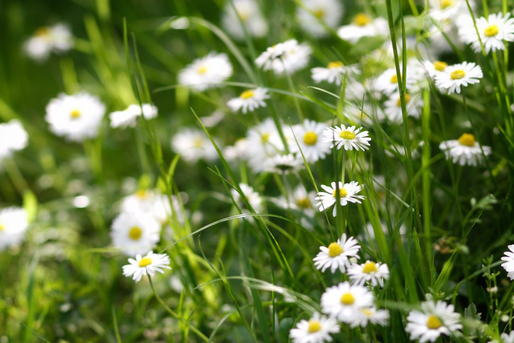 daisies and grass at Kilmardinny Loch