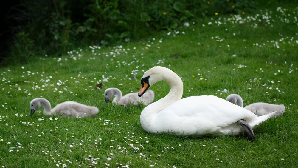 swan and three cygnets on grass and daisies at Kilmardinny Loch