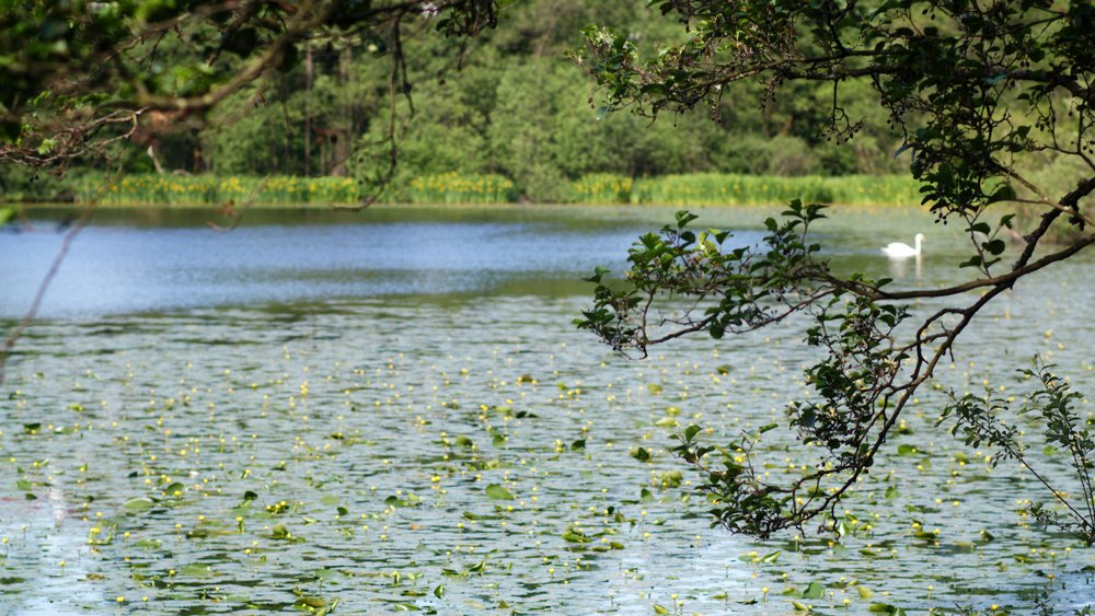 Killmardinny loch with tree branches and a swan swimming