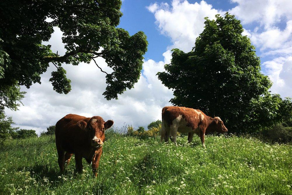 cows in a field at Mugdock