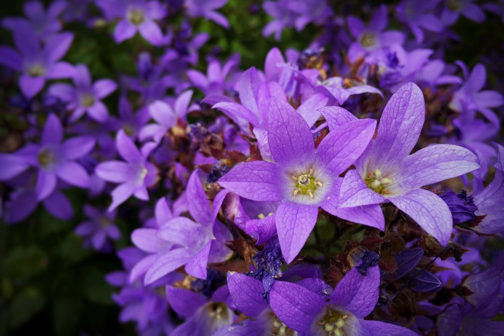 purple flowers growing in Brittany