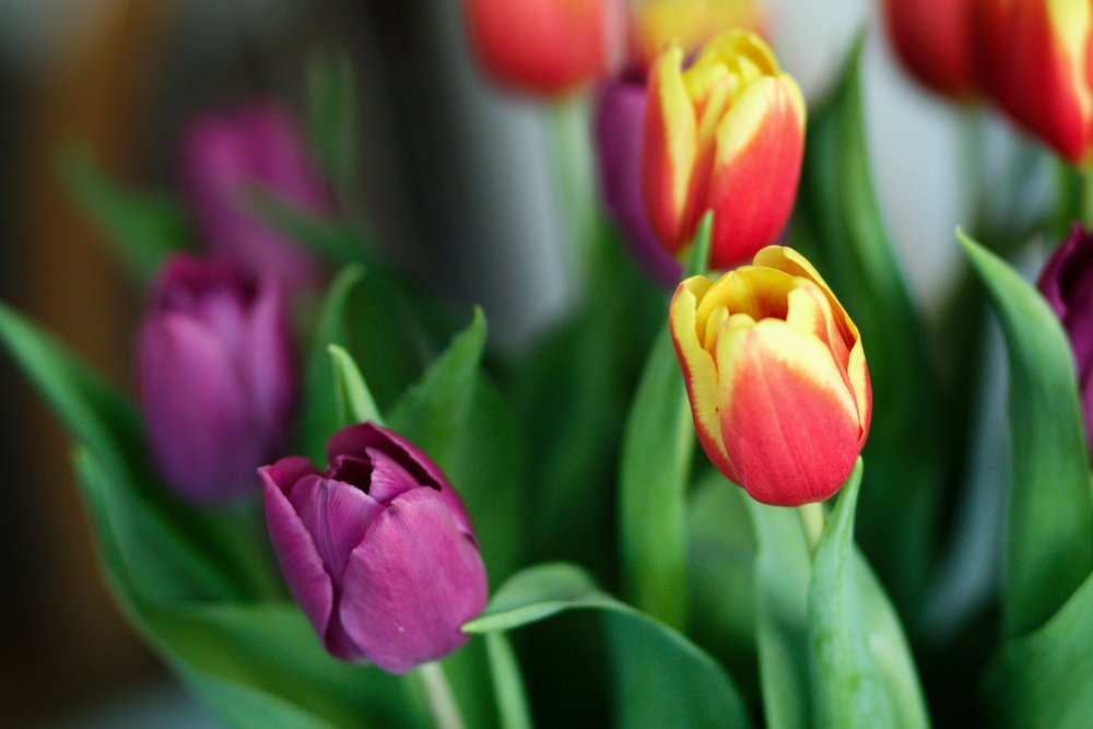 purple and orange/yellow tulips