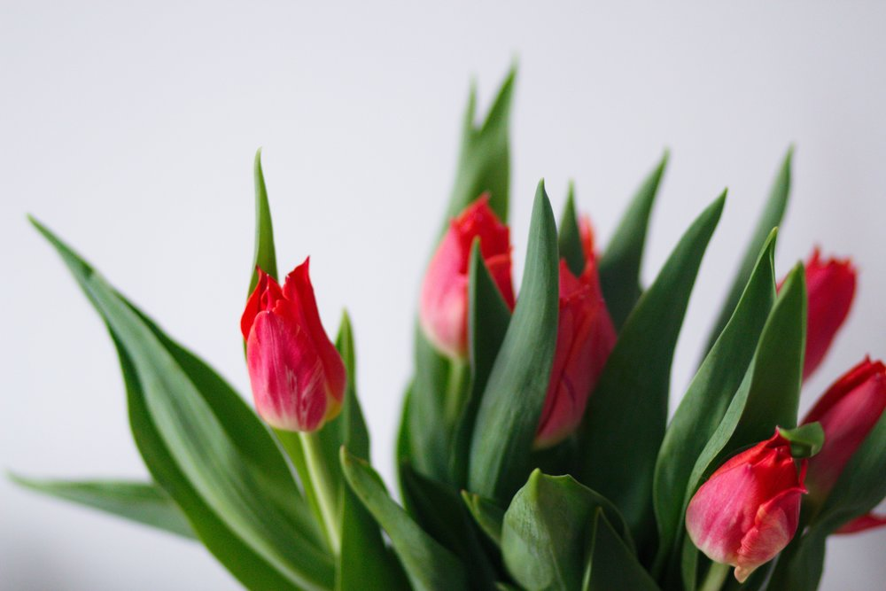 pink tulips with pointy green leaves