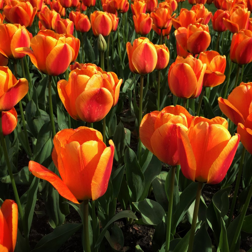 a field of tulips at Glasgow Botanic Gardens