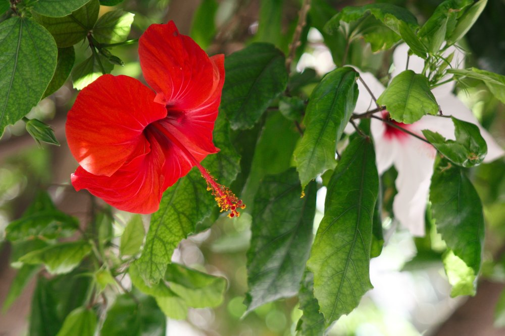red hibiscus in Almería