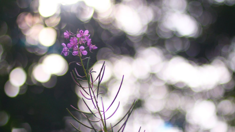 another flower at Kilmardinny Loch (with gorgeous bokeh!)