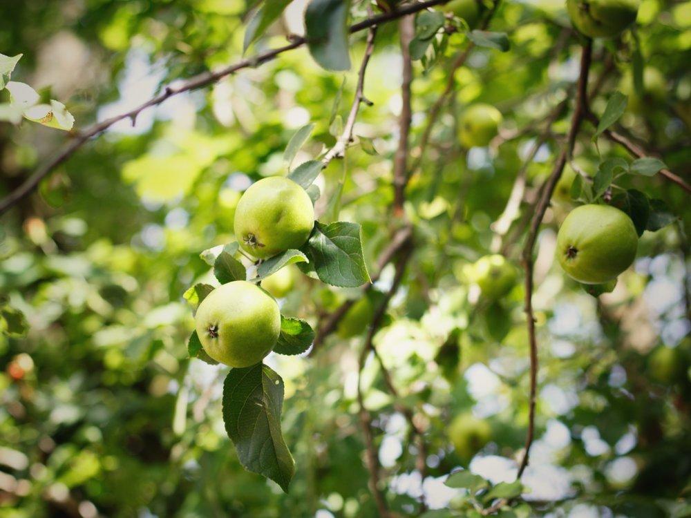 apples growing on an apple tree
