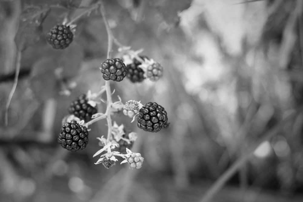 black and white photo of blackberries