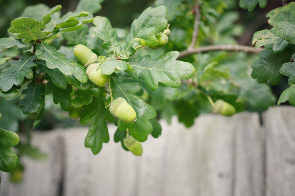 acorns growing on an oak tree