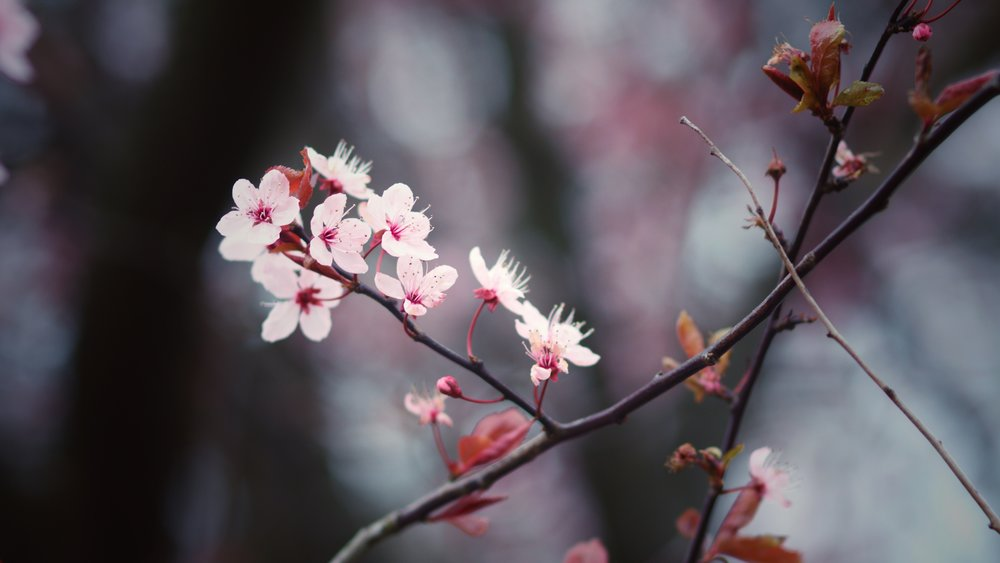 28th March - photographing beautiful cherry blossoms as Winter fades to Spring