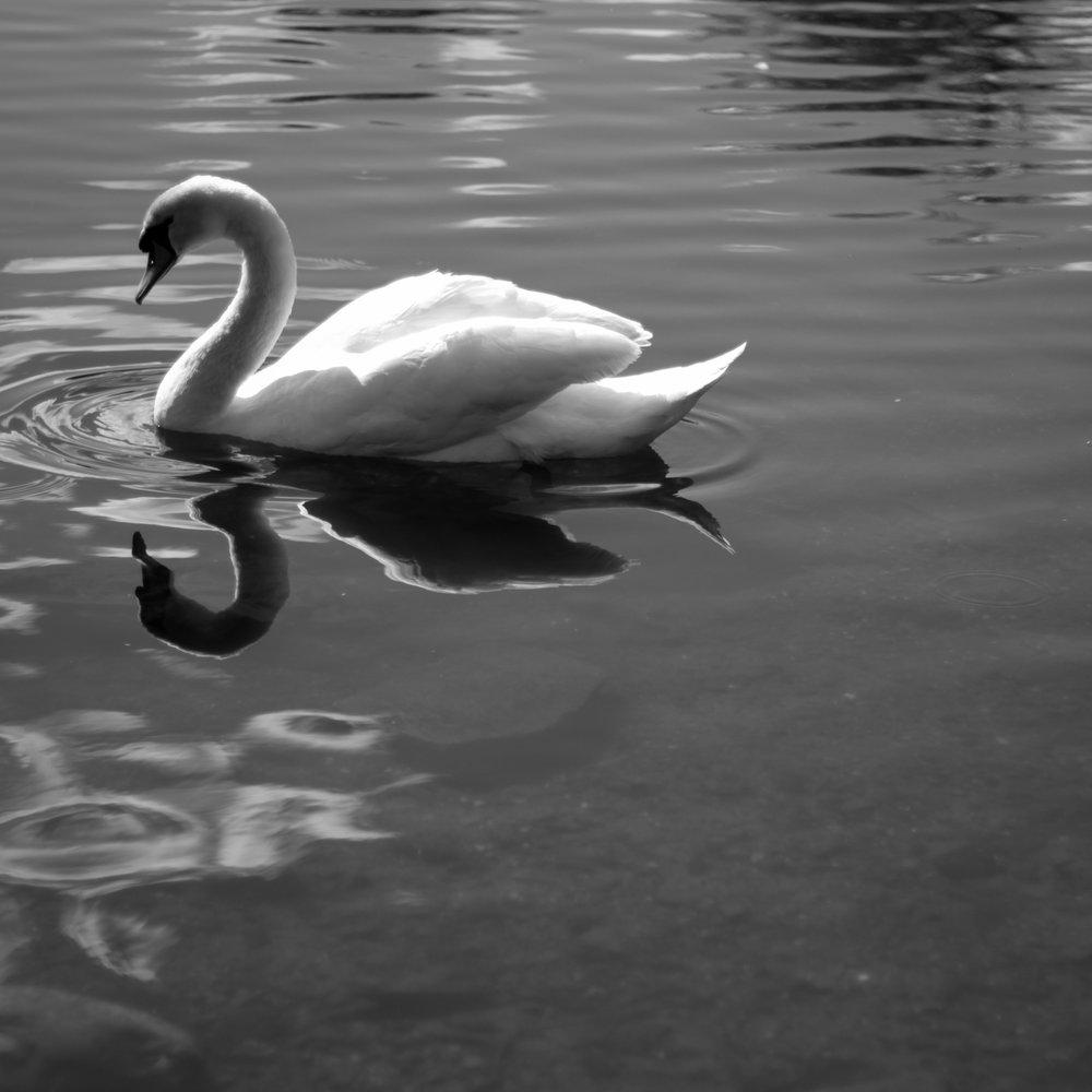 swan at Kilmardinny